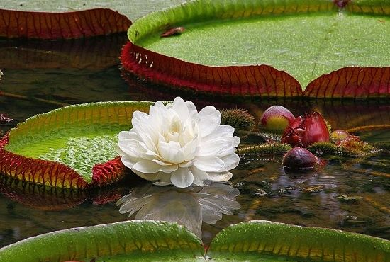 Glimpse the Giant Water Lily